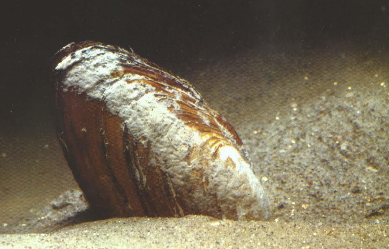 Controllo della qualità delle acque per la vita dei molluschi